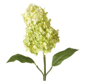 Picture of Panıculata Hydrangea Flower